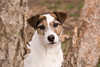 Purebred  Parson Russell Terrier