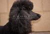 Purebred  Poodle