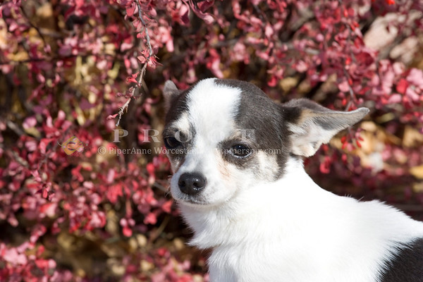 Chihuahua/Chin TG