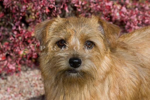 Norfolk Terrier KP