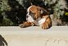 Purebred  Bulldog