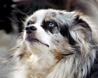 Lovely Australian Shepherd gazing up at her owner.
