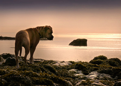 Webster, Bullmastiff cross, at the ocean, NS