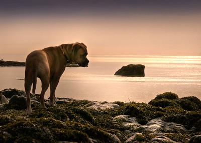 Webster, Bullmastiff cross, at the ocean, NS