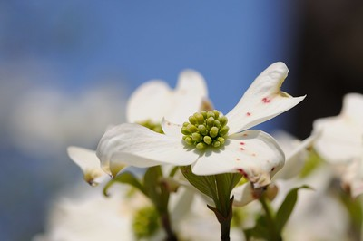 Dogwood Blossoms, 2014 - 2017