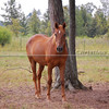 Arabian-Quarter Horse cross gelding Flash