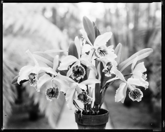 One of Mrs. Doheny's orchids, Los Angeles?, Calif., 1913?-1930s?