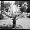 Cyad, front lawn, Doheny Mansion, Chester Place, Los Angeles?, Calif., 1913?-1930s?