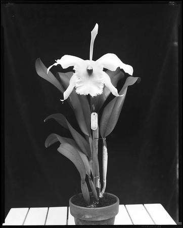 Brasso-cattleya carmen orchid, Los Angeles?, Calif., 1913?-1930s?