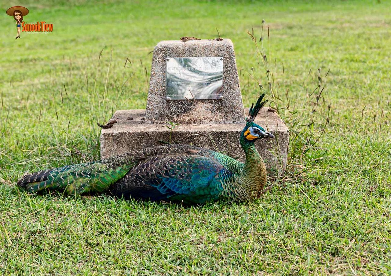 นกยูง น้ำตกธารสวรรค์ ต้นสมพง ดอยภูนาง อุทยานแห่งชาติดอยภูนาง พะเยา