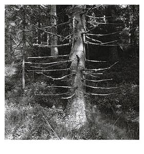 Tanne im Wald auf dem Weg von Horndal nach Munkfors, 14. August 2016