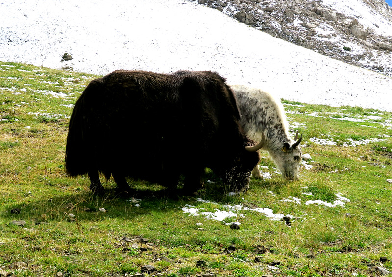 A pair of Yaks grazing at The Yak Place near Rifugio Valentini.