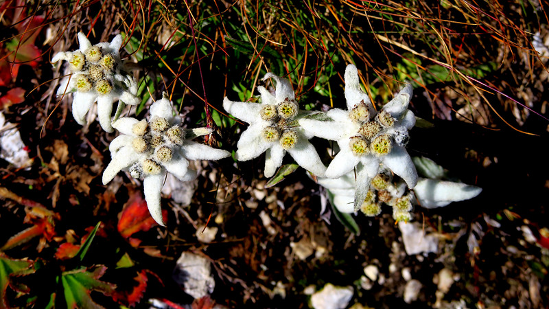 Edelveiss flowers on rough scree.