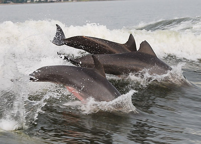 Three jumping - check out the middle fin,  looks like a shark bite (not really, these dolphins are too fast and have no natural enemies).  Most likely a boat propeller but she seems to be moving just fine!
