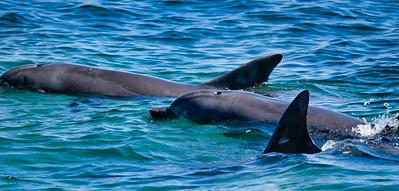 Dolphin23
