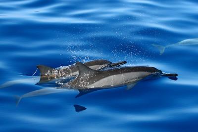 hawaiian spinner dolphins, Stenella longirostris