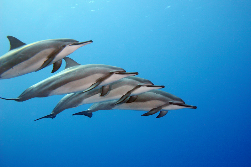 Four Hawaiian Spinner Dolphin, Stenella longirostris, swim in tight formation, Big Island, Pacific, Hawaii