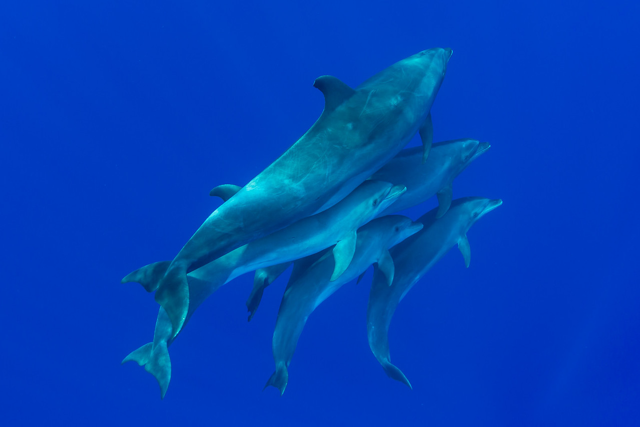 Bottle Nose dolphin family.