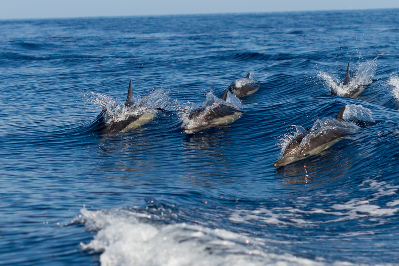 Dolphins in Dana Point California