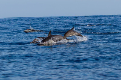 Dana Point Dolphins