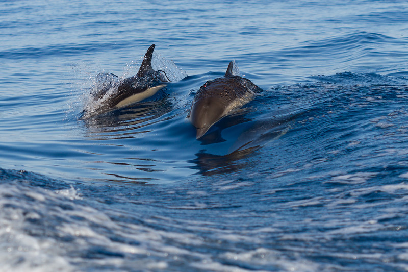 Dolphins in Dana Point California