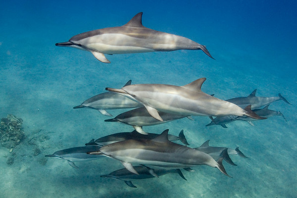 spinner dolphins, Stenella longirostris, Hawaii ( Central Pacific Ocean )