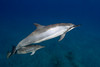 spinner dolphin with calf, Stenella longirostris, Hawaii ( Central Pacific Ocean )