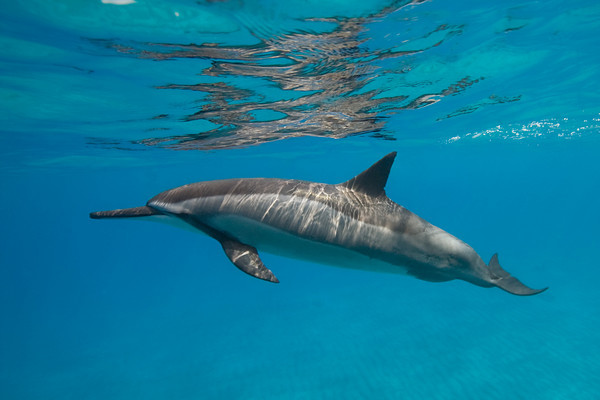 spinner dolphin, Stenella longirostris, Hawaii ( Central Pacific Ocean )
