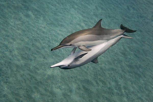 spinner dolphins, Stenella longirostris, mating, Ho'okena, Big Island, Hawaii ( Central Pacific Ocean )