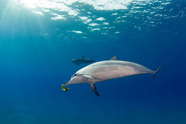 spinner dolphin, Stenella longirostris, playfully carries leaf on rostrum, Hawaii ( Central Pacific Ocean )