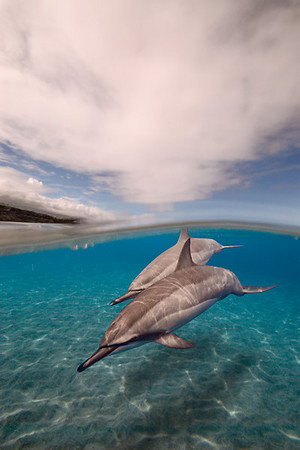 A pair of spinner dolphins, Stenella longirostris, glide over the sand at Ho'okena, Hawaii ( Central Pacific Ocean ) (dc)
