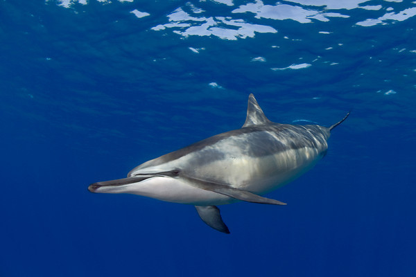 spinner dolphin, Stenella longirostris, Hawaii ( Central Pacific Ocean ) (dm)