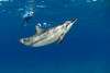 spinner dolphin, Stenella longirostris, cavorts with snorkeler, Hawaii ( Central Pacific Ocean )