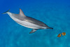 spinner dolphin, Stenella longirostris, investigates leaves in the ocean, Hawaii ( Central Pacific Ocean )