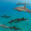 Family photo, pod of spinner dolphins, Stenella longirostris, with six mother and calf pairs including one nursing, Hawaii ( Central Pacific Ocean )