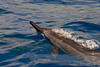 spinner dolphin, Stenella longirostris, surfaces to take a breath, Hawaii <br /> ( Central Pacific Ocean )