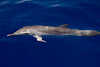 pantropical spotted dolphin, Stenella attenuata, bow-riding, Big Island, Hawaii ( Central Pacific Ocean )
