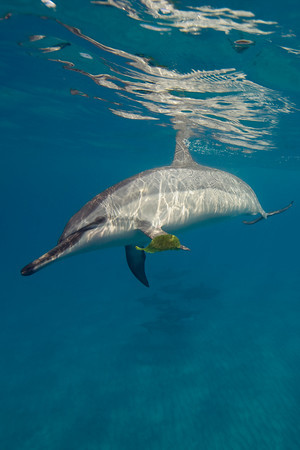 spinner dolphin, Stenella longirostris, playfully carries leaf on pectoral fin, Hawaii ( Central Pacific Ocean )