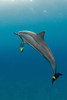 spinner dolphin, Stenella longirostris, playfully carries leaf on pectoral fin and caudal fin, Hawaii ( Central Pacific Ocean )