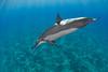spinner dolphin, Stenella longirostris, Hawaii ( Central Pacific Ocean )