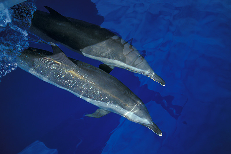 pantropical spotted dolphins, Stenella attenuata, bow-riding, Big Island, Hawaii ( Central Pacific Ocean )
