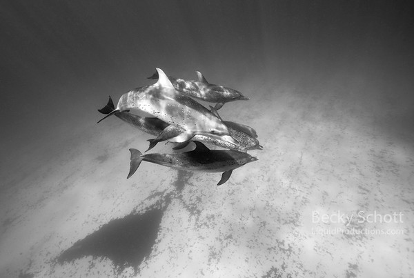Friendly pod of spotted dolphins