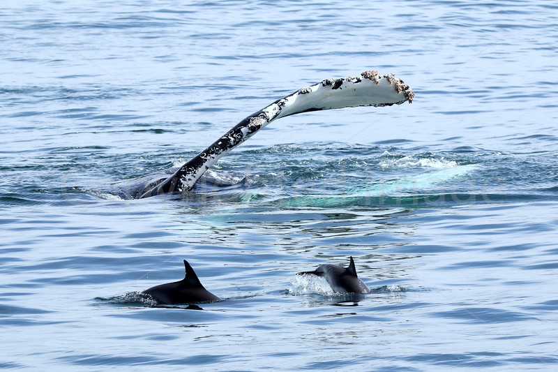Humpback & Dolphins