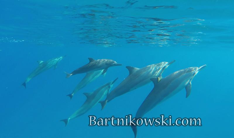 Wild Dolphins, Hawaii Island