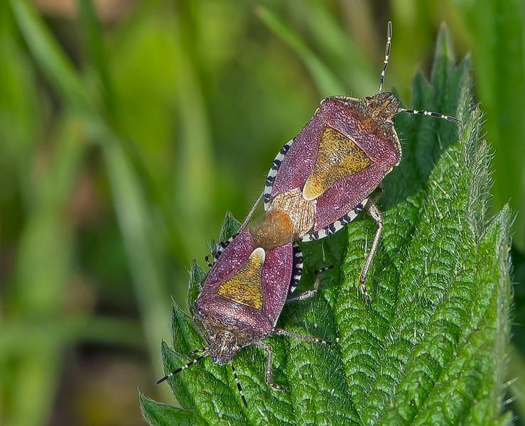 Dolycoris baccarum (Sloe Bug)