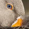 Tame goose  Copyright Jens Birch