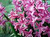 Pink Hyacinths Close