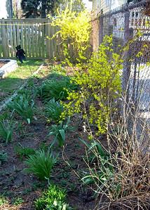 Forythia and Sprouting Alliums.JPG