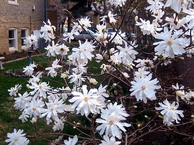 Star Magnolias.JPG