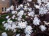 Star Magnolias
